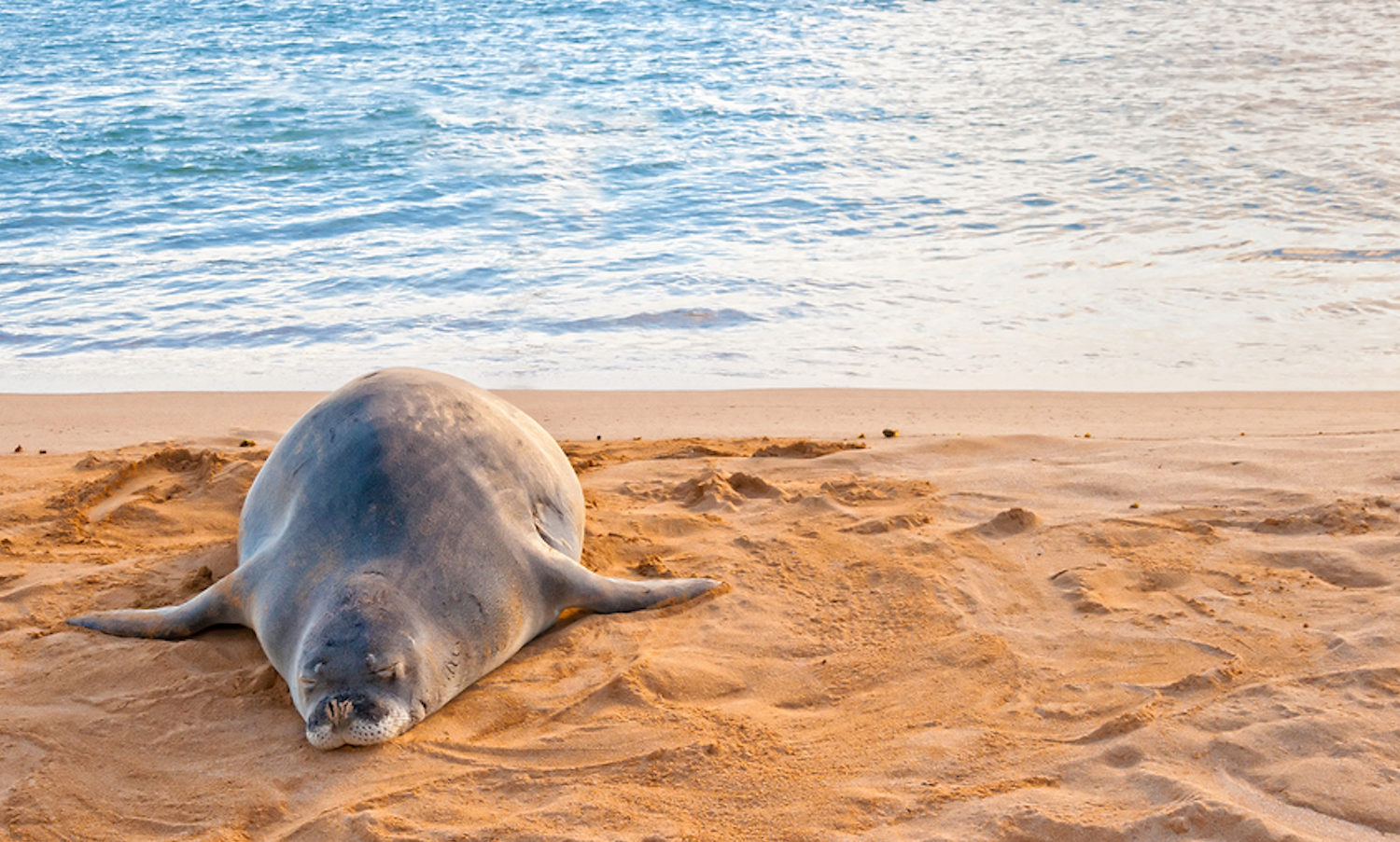 Monk Seal in Kauai, Hawaii with GyPSy Guide Tour App