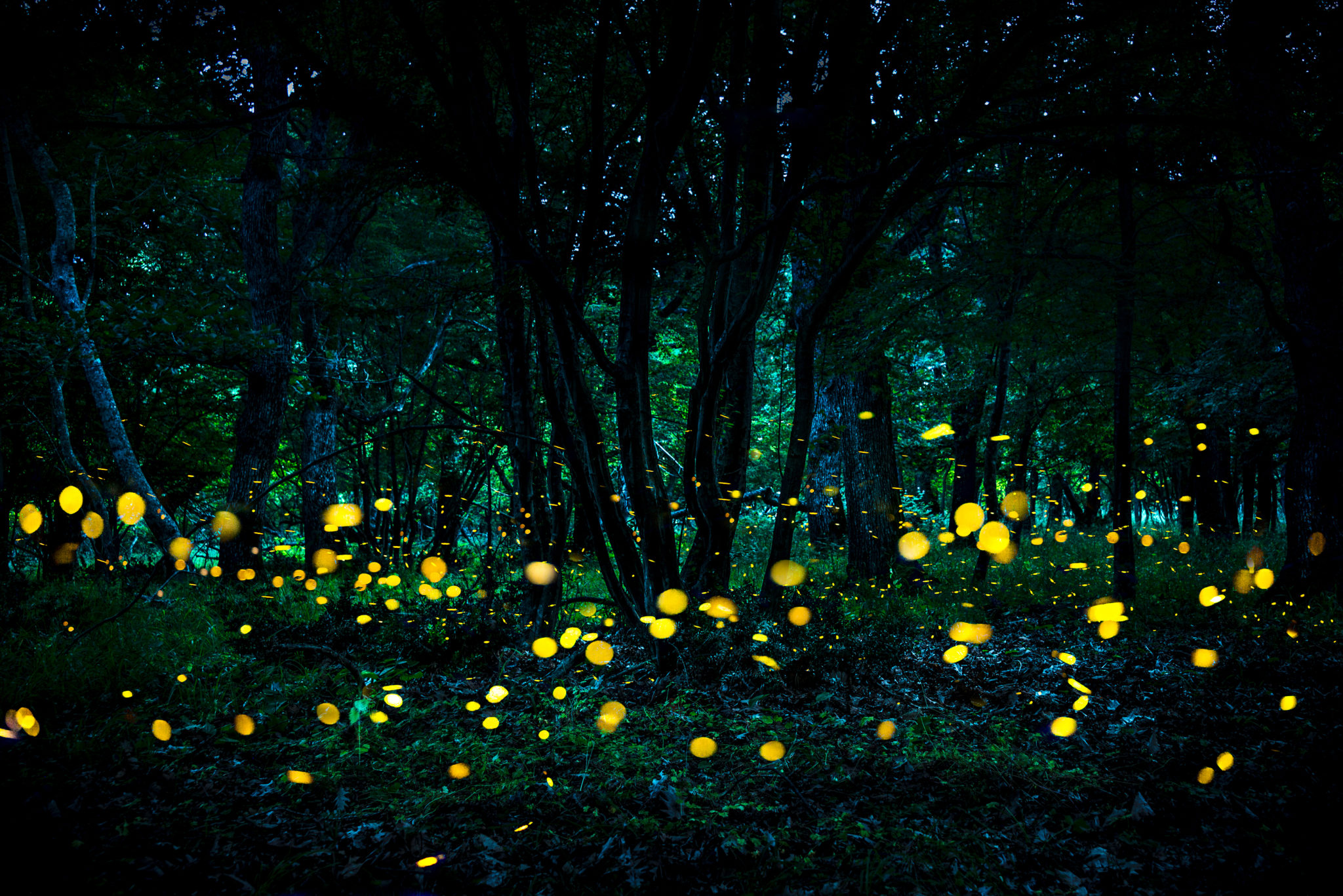 Fireflies in Great Smoky Mountains National Park